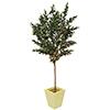250cm Oliivipuu (öljypuu) oliiveilla, Välimeren