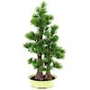 95cm Bonsai-mänty deco-ruukussa, aito bonsai eli