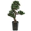 80cm Bonsai-Podocarpus deco-ruukussa, aito bonsai