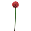 55cm Ukkolaukka punainen. Allium, red. Single garl