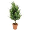 60cm Sypressi, perinteinen ainavihanta havupuu, jo